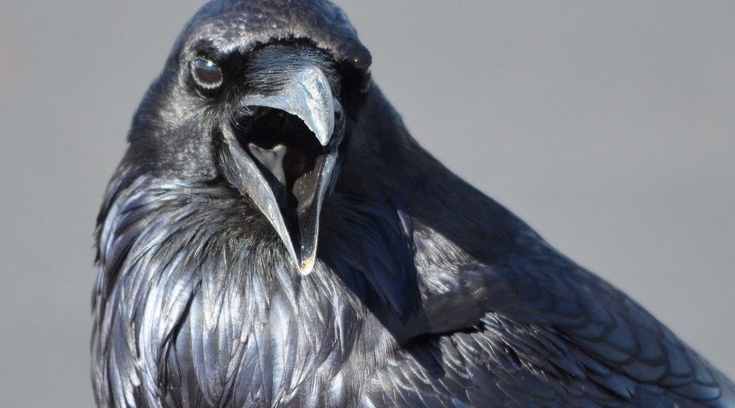 How did ravens and crows get such a bad reputation?